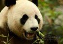 Nog even geen panda-baby's