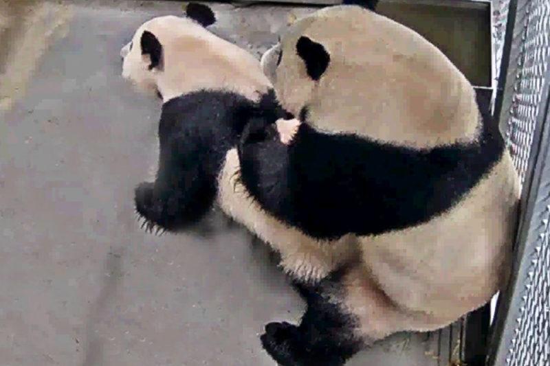 """Panda's hebben """"het"""" gedaan!"""