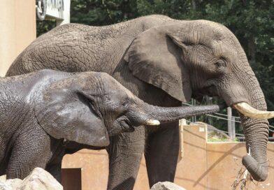 Ouwehands Dierenpark verwacht jonge Afrikaanse olifant in 2021