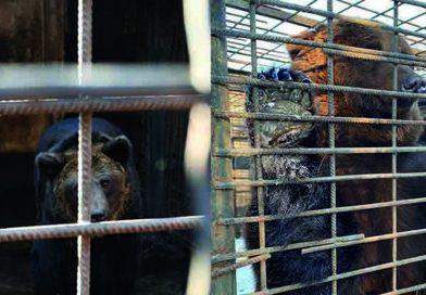 Stichting Bears in Mind behaalt streefbedrag om twee beren te redden maar droomt verder